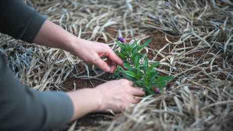 close up of hands planting a small plant in the ground